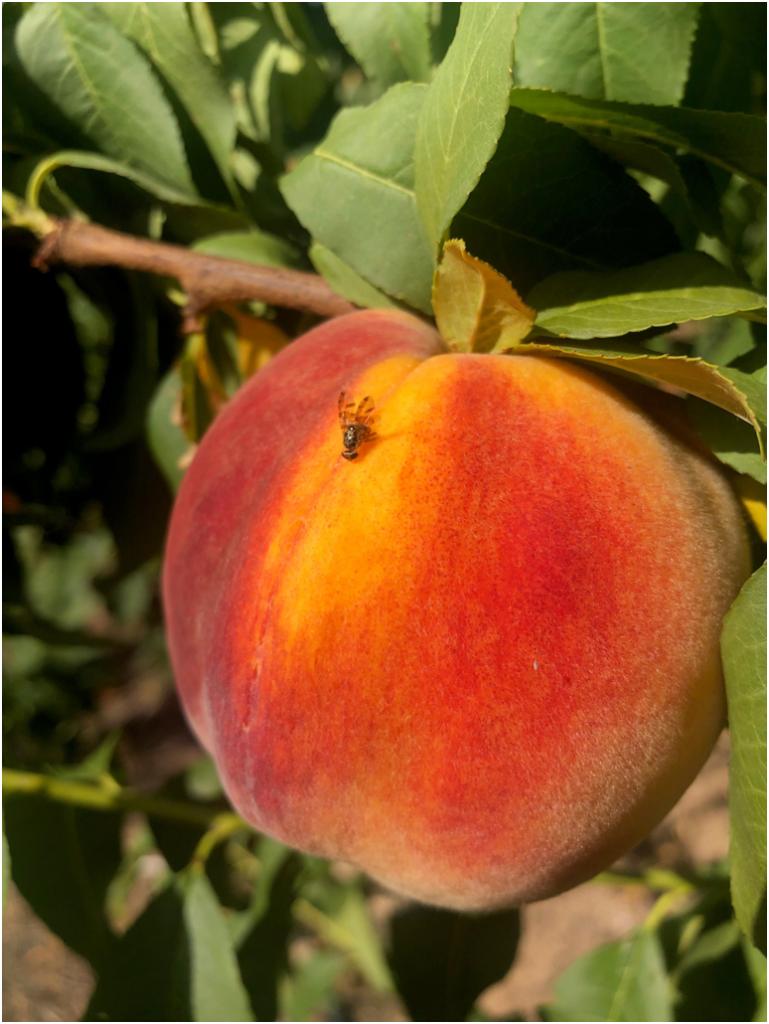 Mosca de la fruta