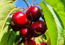 Cracking cerezas