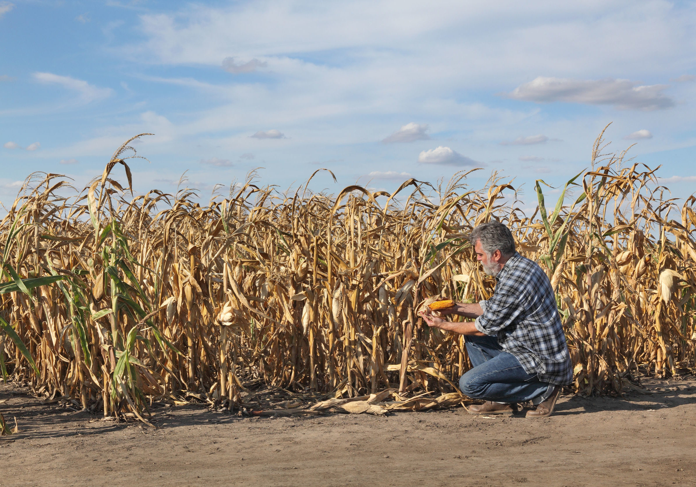 Farmer or agronomist examining corn plant in field after drought, harvest time