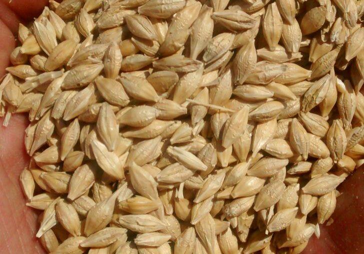 plagas del grano almacenado