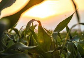 maíz siembra