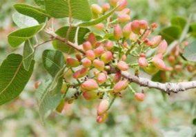 cultivo pistacho