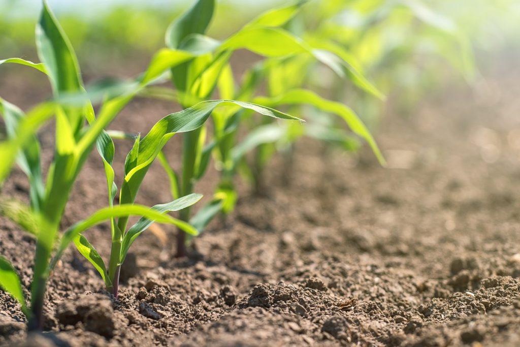 cultivo de maiz