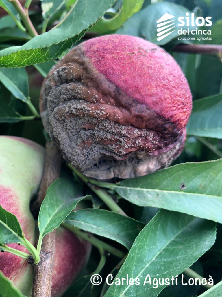 monilia en frutal de hueso